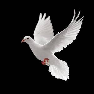 single-white-pigeon-flying-against-a-black-background-picture-id147027411